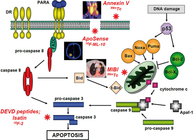 12 ANTICANCER THERAPY AND APOPTOSIS IMAGING
