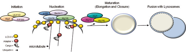 14 INTEGRATION OF AUTOPHAGY, PROTEASOMAL DEGRADATION, UNFOLDED PROTEIN RESPONSE AND APOPTOSIS