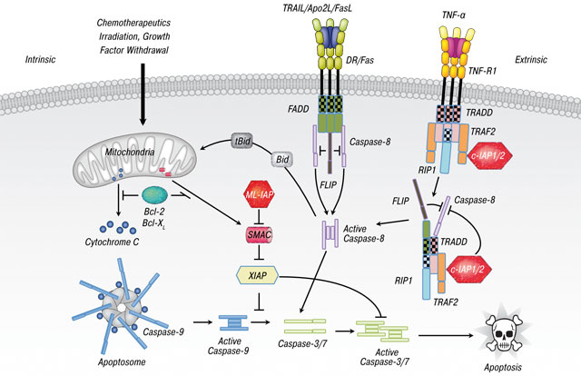 18 The inhibitor of apoptosis (IAP) proteins are critical regulators of signaling pathways and targets for anti cancer therapy