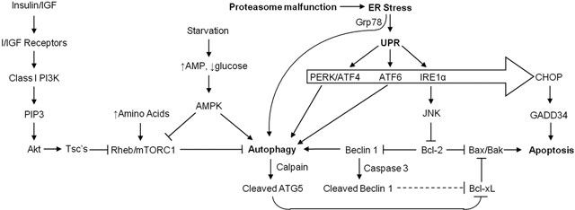 23 INTEGRATION OF AUTOPHAGY, PROTEASOMAL DEGRADATION, UNFOLDED PROTEIN RESPONSE AND APOPTOSIS