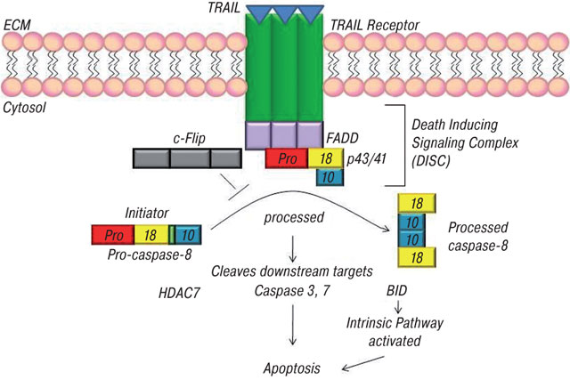 26 Caspase Control: Protagonists of Cancer Cell Apoptosis
