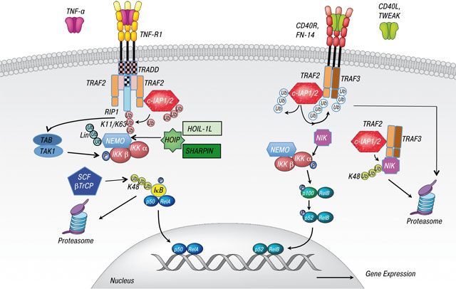 35 The inhibitor of apoptosis (IAP) proteins are critical regulators of signaling pathways and targets for anti cancer therapy