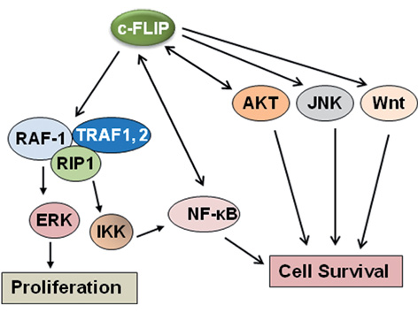c FLIP, A MASTER ANTI APOPTOTIC REGULATOR