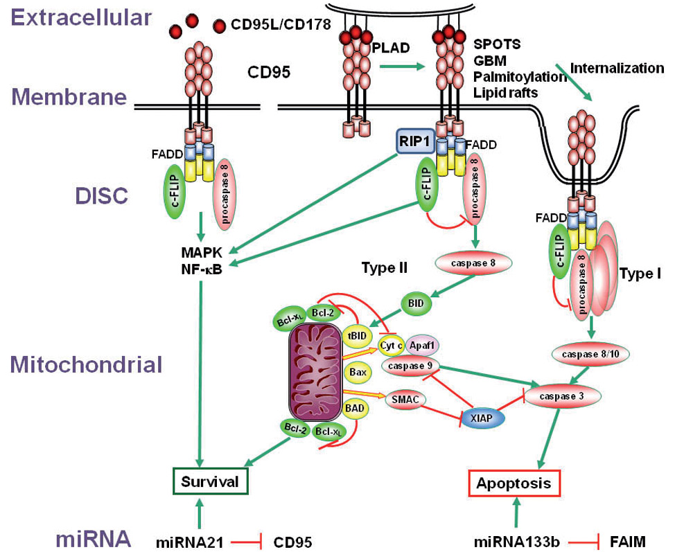 The multilevel regulation of CD95 signaling outcome