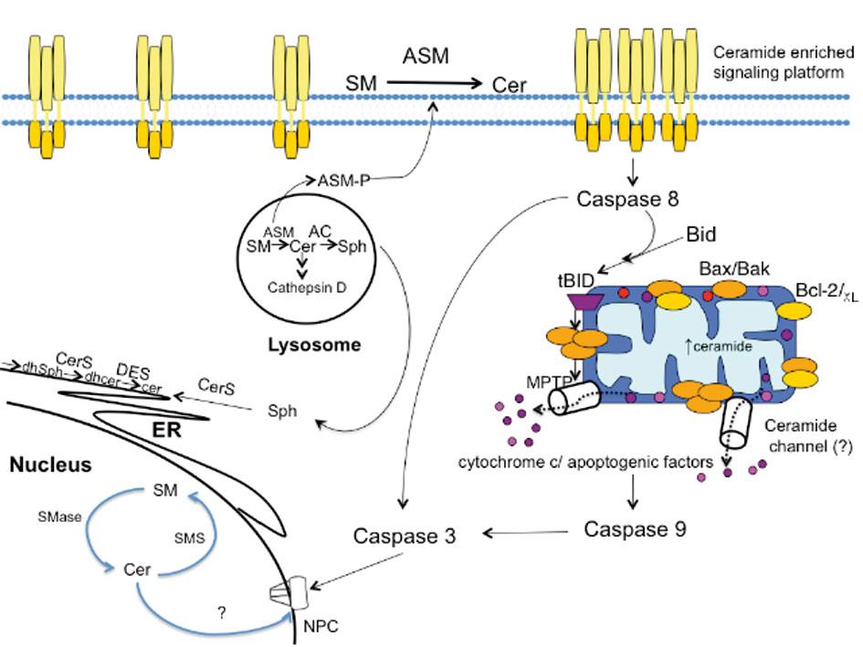 2 Sphingolipids in Apoptosis