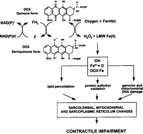 Theoretical ground for adsorptive therapy of anthracyclines cardiotoxicity