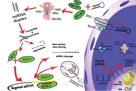 Role of components of microRNA machinery in carcinogenesis