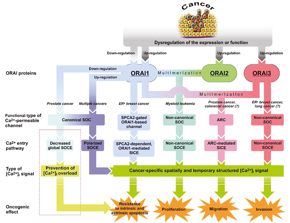 Ca<sup>2+</sup> channel forming ORAI proteins: cancer foes or cancer allies?